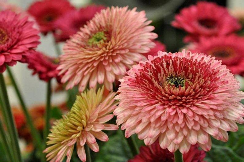 Gerbera 70 Zdjec Rodzaje I Pielegnacja Kwiatu