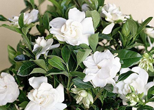 Gardenia (85 photos): types et soins