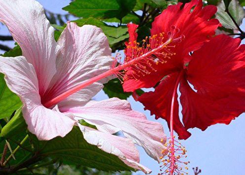 Hibiscus (80 photos): types et soins