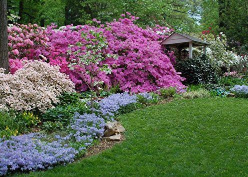 Rhododendron (azalée): 65 photos