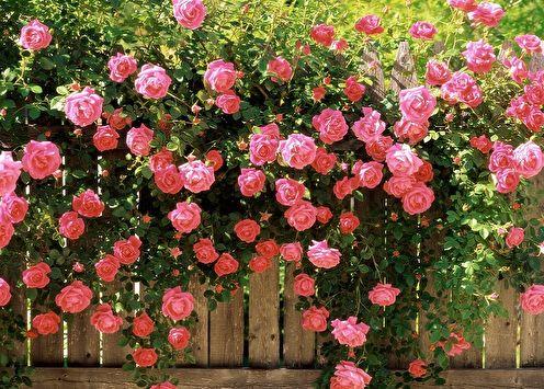 Rose anglaise (85 photos): types et variétés, soins