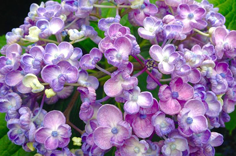Hortensia feuille